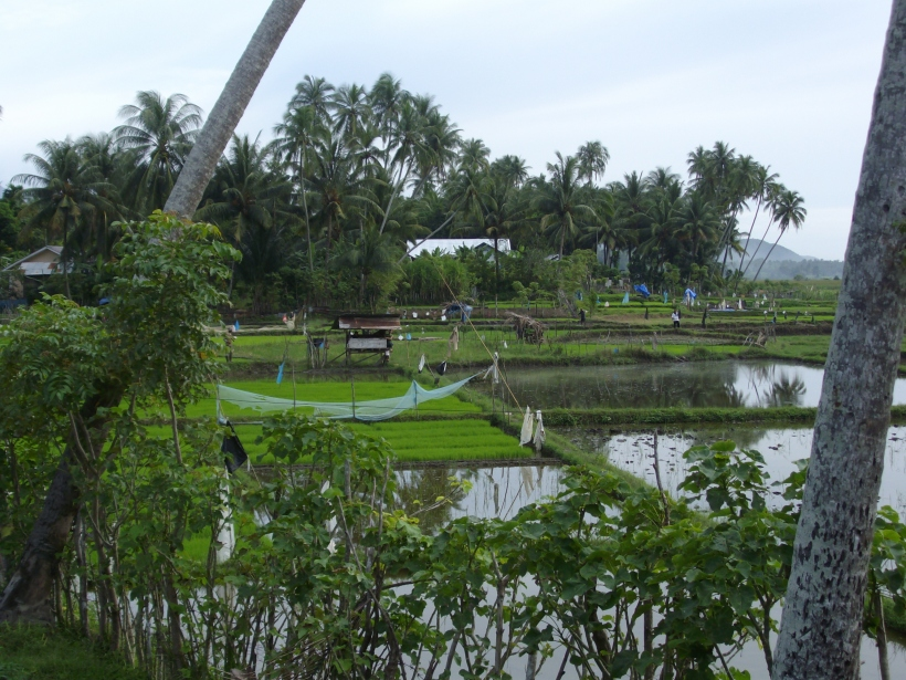 rijstvelden